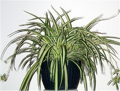 Air Cleaning Plant: Spider Plant